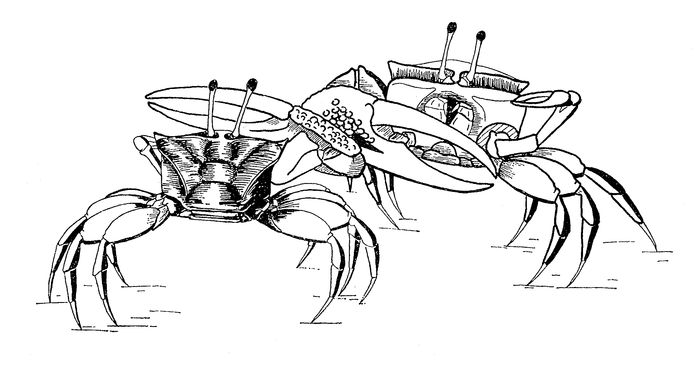 Fiddler Crab Drawing of Combat in Fiddler Crabs