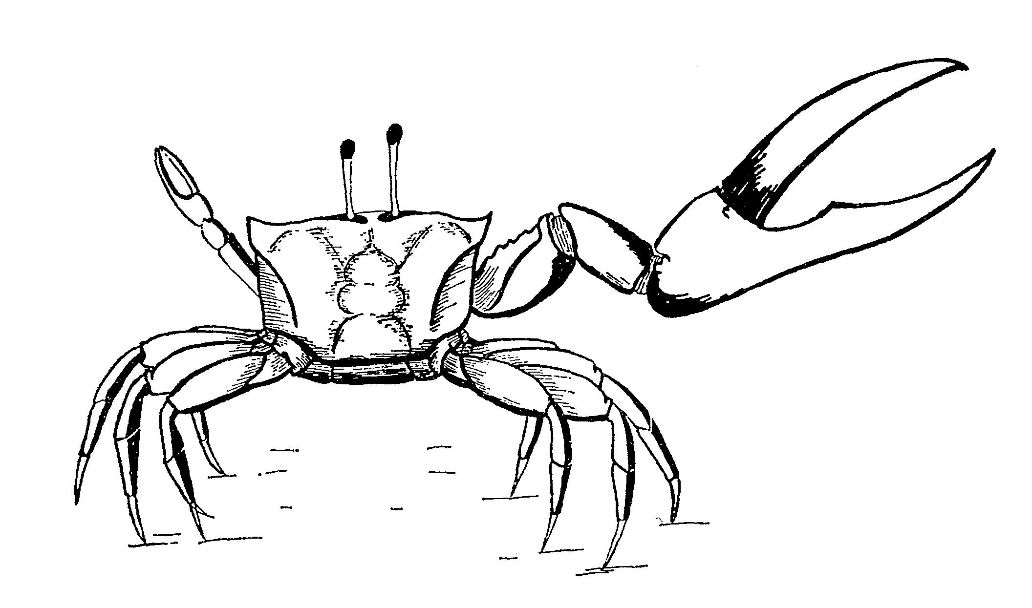 Fiddler Crab Drawing Position in Fiddler Crabs