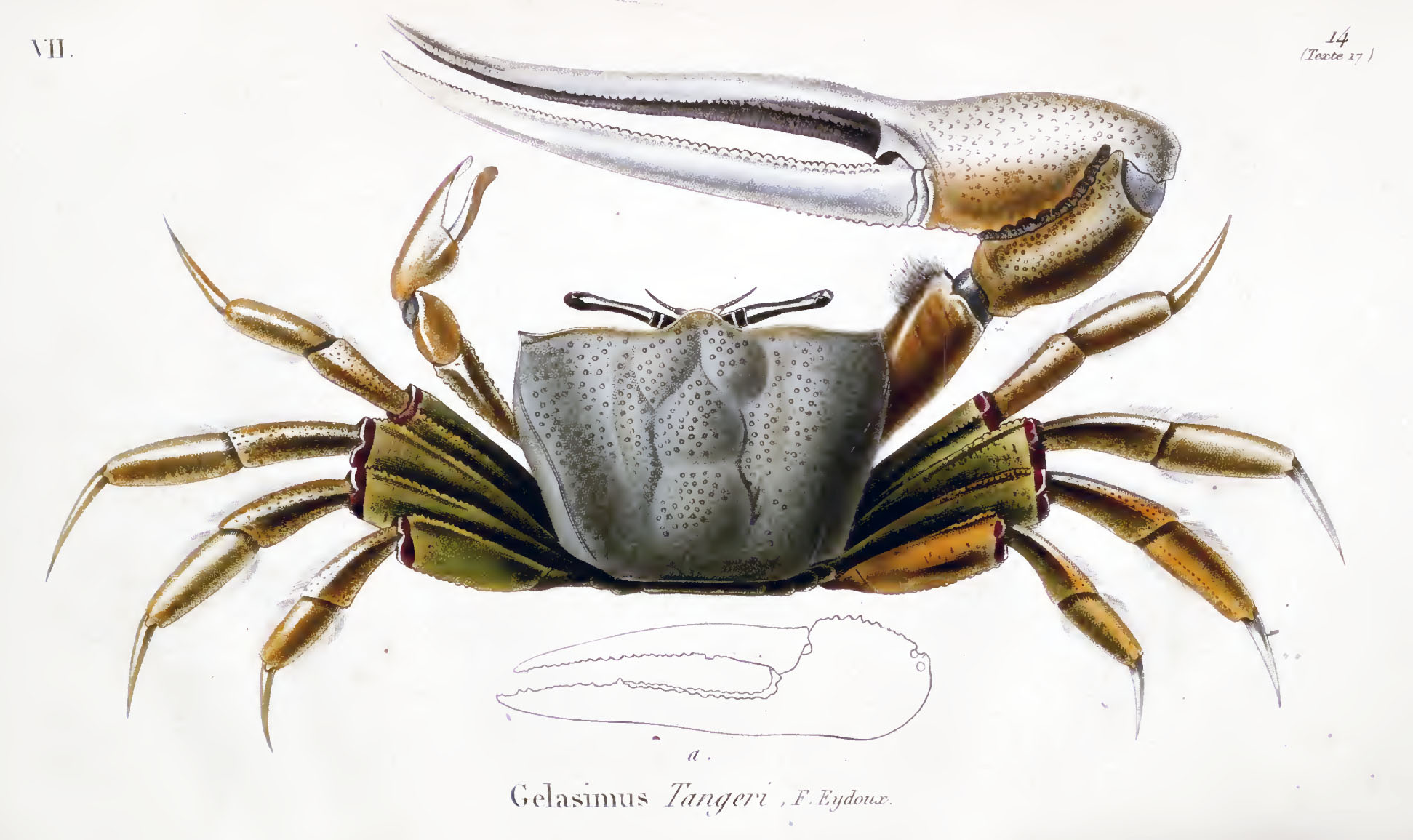 Fiddler Crab Drawing This Drawing is From Eydoux