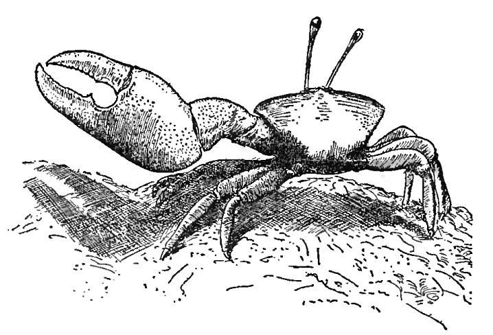 Fiddler Crab Drawing This Drawing is From Pearse