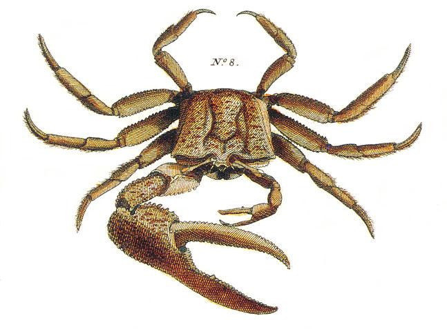 Fiddler Crab Drawing Seba's Fiddler Crab