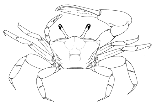 Fiddler Crab Drawing Figure Modified From Crane
