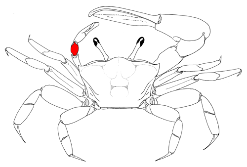 Fiddler Crab Drawing View of The Crab Figure